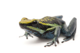 Rio Abiseo Morph of the Pepperi Poison Dart Frog, Ameerega Pepperi Photographic Print by Joel Sartore