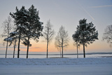 A Stand of Trees in a Snow Covered Winter Landscape Near Lulea Photographic Print by Lola Akinmade Akerstrom