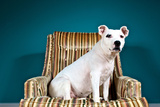 A White Pit Bull Mix Dog in a Striped Chair, Looking at the Camera Photographic Print by Heather Perry