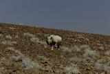 An Endangered Black Rhinoceros, Diceros Bicornis, Trudging Down a Desert Hillside Photographic Print by Jonathan Irish