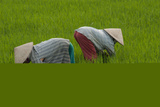 Tending Rice Fields around Phong Triu in the Danang Area of Vietnam Photographic Print by Karen Kasmauski