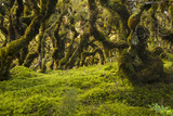 Moss, Lichen, Liverwort, and Other Clinging Greenery Cover Tree Limbs Photographic Print by Michael Melford