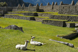 Young Llamas Resting in the Main Square at Machu Picchu Lámina fotográfica por Diane Cook Len Jenshel