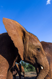 An Orphaned African Elephant Calf Flapping it's Ear to Stay Cool Photographic Print by Jason Edwards