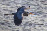 Portrait of a Great Blue Heron, Ardea Herodias, in Flight over the Occoquan River Photographic Print by Kent Kobersteen