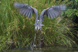 A Great Blue Heron Takes Flight from a Pond Near the Occoquan River in Northern Virginia Photographic Print by Kent Kobersteen