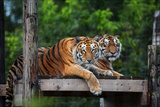 Two Tigers Resting on a Perch Overlooking a 108-Acre Forested Reserve Reprodukcja zdjęcia autor Steve Raymer