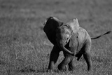 An African Elephant Calf Playfully Running Through a Grassland Fotografie-Druck von Beverly Joubert