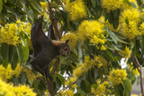 A Spectacled Flying Fox, Pteropus Conspicillatus, Hanging from a Golden Penda Tree Photographic Print by Cristina Mittermeier