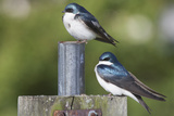 A Pair of Tree Swallows Atop a Nesting Box Along the Occoquan River Reproduction photographique par Kent Kobersteen