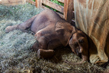 An Orphaned African Elephant Calf Sleeping in a Bed of Straw in Wildlife Shelter Barn Photographic Print by Jason Edwards