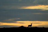 Silhouette of a Male Impala Standing Alert on the Sunset Horizon Photographic Print by Beverly Joubert