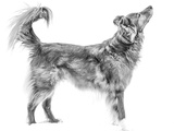 Black and Portrait of a Mixed Breed Collie Dog in the Snow Photographic Print by Amy and Al White and Petteway