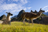 Llamas Resting and Grazing in the Main Square at Machu Picchu Lámina fotográfica por Diane Cook Len Jenshel