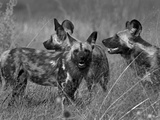 A Pack of Cape Hunting, or African Wild Dogs, Looking around at their Surroundings Photographic Print by Beverly Joubert