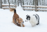A Double Merle Australian Shepherd Dog and a Collie Mix Dog Playing in the Snow Photographic Print by Amy and Al White and Petteway