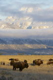 As the Clouds Clear Off the Grand Tetons, a Herd of Bison Graze in a Large Meadow Photographic Print by Barrett Hedges