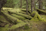 Moss Covered Cedar Log Remains of the Long Houses of the Haida People Photographic Print by Matthias Breiter