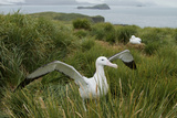 A Wandering Albatross, Diomedea Exulans, Shoos Trespassers Away from its Nest Site Photographic Print by Tim Laman