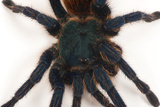 A Greenbottle Blue Tarantula at the Lincoln Children's Zoo Photographic Print by Joel Sartore