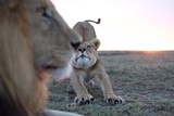 A Robot Car Captures an Adult Male Lion with a Female from the Vumbi Pride Photographic Print by Michael Nichols