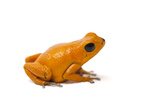 Isla Nancy Morph of the Strawberry Poison Dart Frog, Oophaga Pumilio Photographic Print by Joel Sartore
