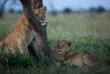 While the Pride Hunts, an Older and Younger Lion Cub Rest at an Acacia Tree Photographic Print by Michael Nichols