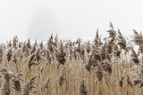Frost-Covered Reeds, in a Marsh Beside the Estuary of the River Exe, Devon Photographic Print by Nigel Hicks