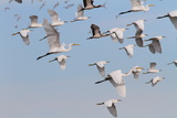 A Mixed Flock of Great and Snowy Egrets, and White Ibises in Flight Photographic Print by George Grall
