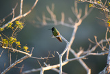 Hooded Visorbearer Hummingbird Resting on a Branch in Chapada Diamantina Photographic Print by Alex Saberi