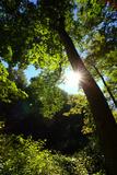 Back-Lit Midsummer Trees with Green Leaves and Blue Sky Fotografisk tryk af George Grall