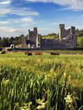Cattle Amongst the Ruins of Fore Abbey in County Westmeath, Ireland Fotografisk tryk af Chris Hill