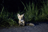 Portrait of a Young Red Fox, Vulpes Vulpes, Sitting on the Side of a Gravel Road at Night Photographic Print by Ulla Lohmann