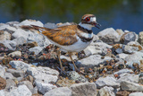 A Nesting Killdeer, Charadrius Vociferus, Guarding its Eggs Fotografisk tryk af George Grall