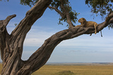 A Male Lion Lying in a Tree in the Green Grass Plains of the Masai Mara Photographic Print by Beverly Joubert