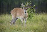 A White Tailed Deer with Antlers in Velvet, Stands in Tall Grass Photographic Print by Matthias Breiter