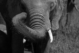 Close-Up of a Young Elephant Rubbing its Eye with its Trunk, Botswana Photographic Print by Beverly Joubert