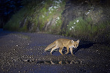 A Young Red Fox, Vulpes Vulpes, Crossing a Gravel Road at Night Photographic Print by Ulla Lohmann