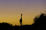 A Silhouetted Desert-Adapted Giraffe, Giraffa Camelopardalis, at Sunset Photographic Print by Jonathan Irish