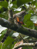 A Hawk Eats a Grasshopper at Manuel Antonio National Park, Costa Rica Photographic Print by Michael Melford