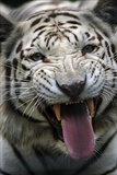 A Hungry White Tiger, a Genetic Mutation of an Indian Tiger, Snarling Reprodukcja zdjęcia autor Steve Raymer