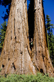 A Child Plays in a Sequoia Tree, One of the Largest in the World Photographic Print by Stacy Gold