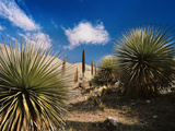 Towering Queen of the Andes Bromeliads, Puya Raimondii, in an Arid Landscape Photographic Print by Diane Cook Len Jenshel