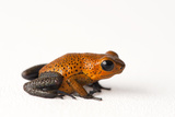 A Morph of the Strawberry Poison Dartfrog, Oophaga Pumilio Photographic Print by Joel Sartore