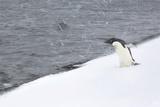 An Adelie Penguin Walking Towards the Water in a Snow Storm Photographic Print by Ira Meyer