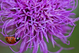 A Ladybug on a Purple Texas Thistle Flower, Cirsium Texanum Photographic Print by Karine Aigner