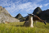 Llamas Resting and Grazing in the Main Square at Machu Picchu Photographic Print by Diane Cook Len Jenshel