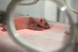 A Newborn Giant Panda, Ailuropoda Melanoleuca, in an Incubator Photographic Print by Sean Gallagher