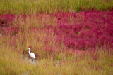 A Great Egret Among Colorful Grasses on Mason's Island in the Fall Photographic Print by Michael Melford