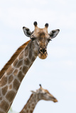 A Female Southern Giraffe, Giraffa Camelopardalis, Looking at the Camera Fotografisk tryk af Sergio Pitamitz
